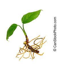 planta, verde, jovem, white., isolado