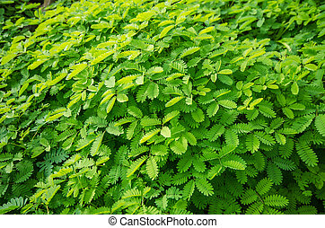 planta, verde sai