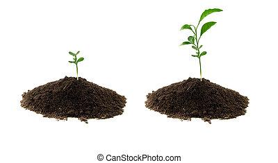 planta, verde, solo