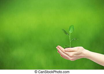planta, verde, tenencia, Manos