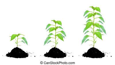 planta, verde, y, tierra