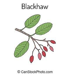 planta, viburnum, dulce, blackhaw, prunifolium, medicinal, haw, o
