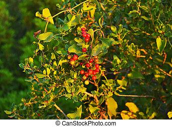 planta, winterberry, navidad
