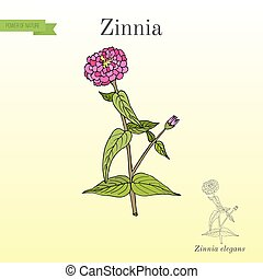planta, zinnia, elegans, florecimiento, youth-and-age, o