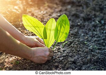 plantación, árbol, joven, luz del sol,  tropical, mañana,  warming, hombre