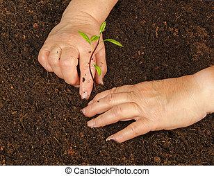 plantación, aguacate, árbol, granjero