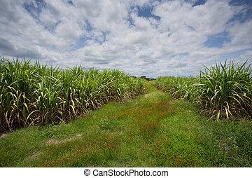 plantación, bastón, paisaje, azúcar