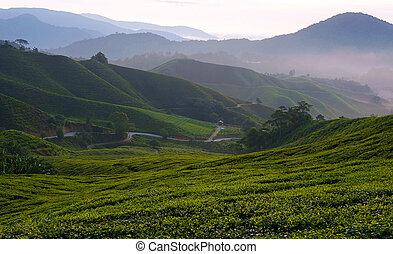 plantación, brumoso, mañana, vista, té