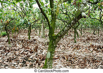 plantación, cacao