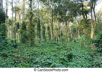 plantación, café, indio
