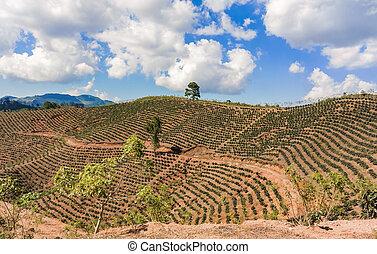plantación, café, Tierras altas,  honduras
