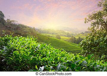 plantación de té, en, cameron, tierras altas, malasia