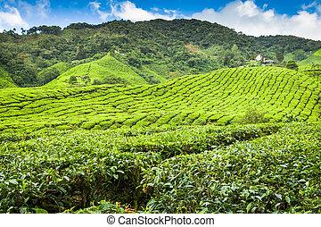 plantación de té, en, el, cameron, tierras altas, malasia,...