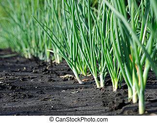plantación, después, cebolla, lluvia