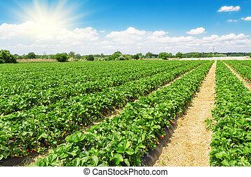 plantación, fresa, día soleado