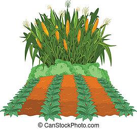 plantación, maíz