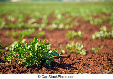 plantación, maní