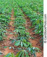 plantación, mandioca