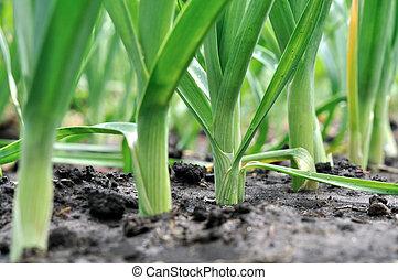plantación, organically, puerro, cultivado