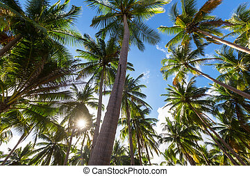 plantación, palma