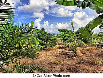 plantación, plátano, tailandia