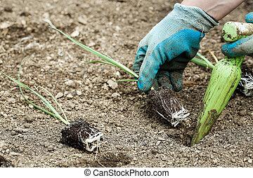 plantación, puerro, jardinero, plantas de semilla