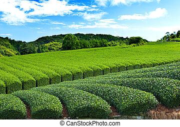 plantación, té