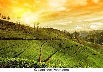 plantación, té, paisaje