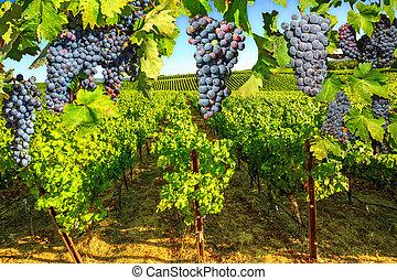 plantación, valle, uva, napa