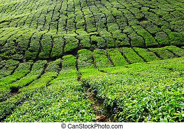 plantaciones té