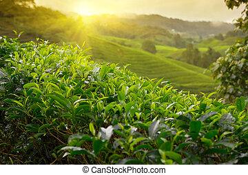 plantacja, malezja, wzgórza, cameron, herbata