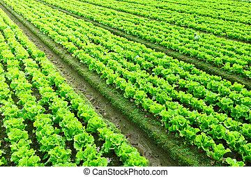 plantado, filas, freshly, alface