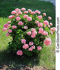 plantae, magnoliophyta, geraniaceae), eudicots, (cranesbills...