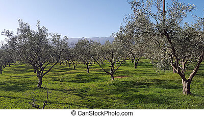 plantage, olivenbäume