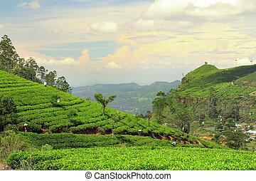 plantage, tee, landschaftsbild