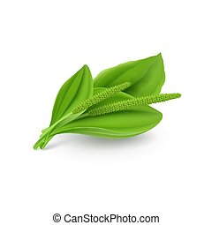 plantago, 葉