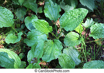 Plantago major, broadleaf plantain or greater plantain, a plant of the family Plantaginaceae