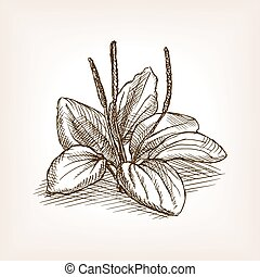 Plantago plant sketch style vector illustration