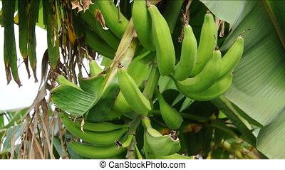 plantain banana tree bunch - plantain banana fruit bunch on...