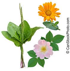 plantain dog-rose marigold medicinal plants isolated