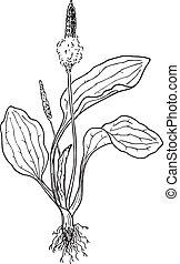 Plantain (Plantago)