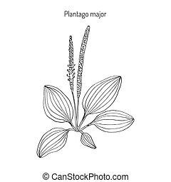 Plantain. Plantago major