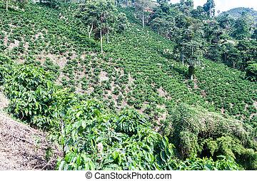 plantantion, café