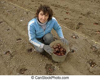 plantar, batata