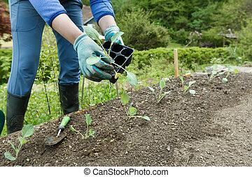 plantar, brócolos, arar, jardineiro, seedlings
