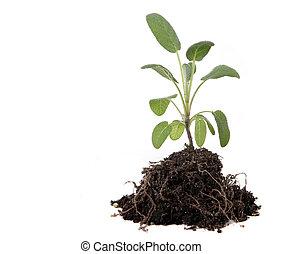 plantar, exposto, erva, sujeira, sábio, verde, raizes