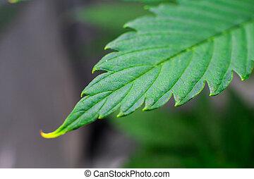 plantar, flor, macro, tiro., cannabis., business., marijuana, cannabis, dentro, crescer, cânhamo, growing., operation.