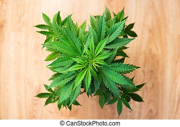 plantar, flor, marijuana., recreacional, cannabis., business., legal, marijuana, cannabis, dentro, crescer, lar, cânhamo, growing., operation.