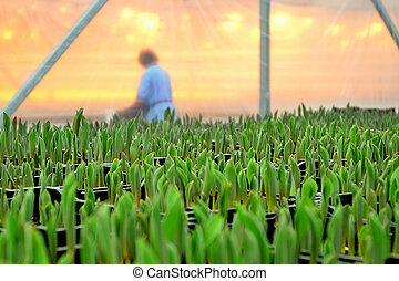 plantar, flores, estufa