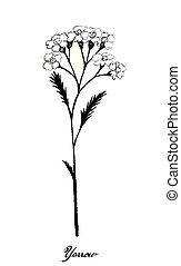 plantas, achillea, mano, milenrama, dibujado, millefolium, o